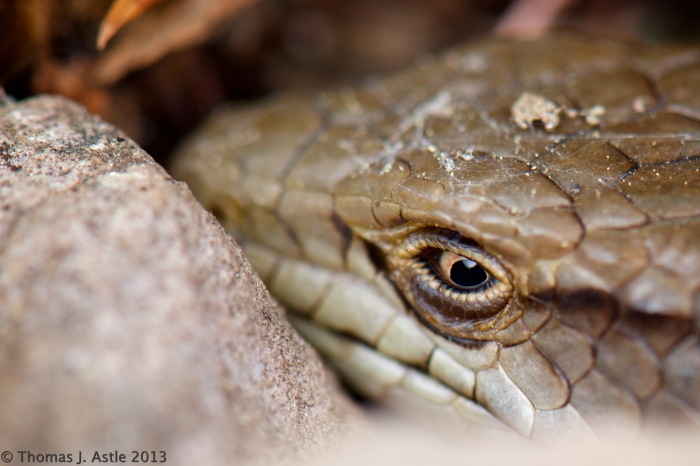 Alligator Lizard 10-13