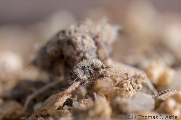 ant lion (4)