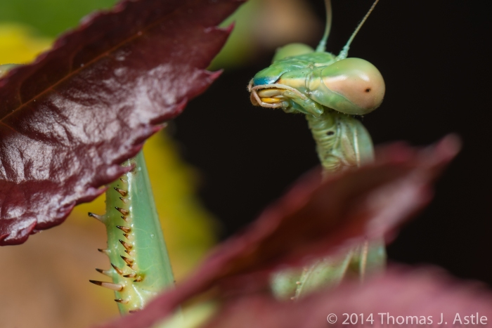 Last Mantis 1